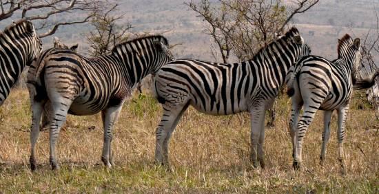 SAD-u i Južnoj Africi te Šestan Busch.
